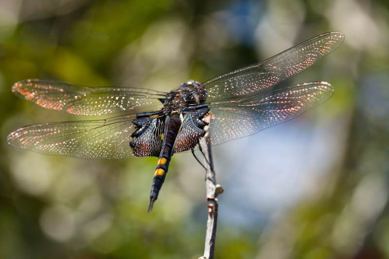 dragonfly-5081