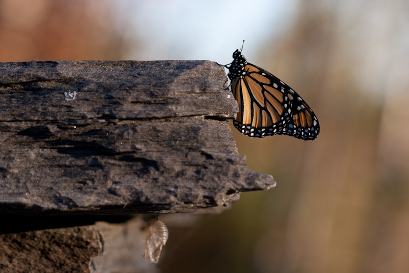 monarch butterfly-4981