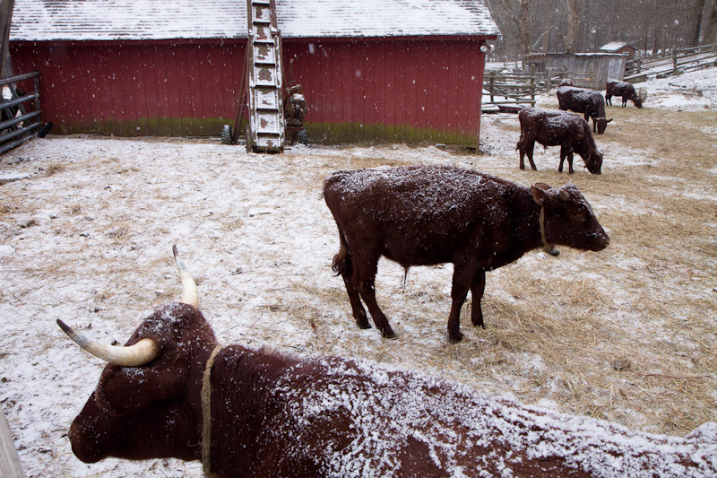 snow shower cattle-7904