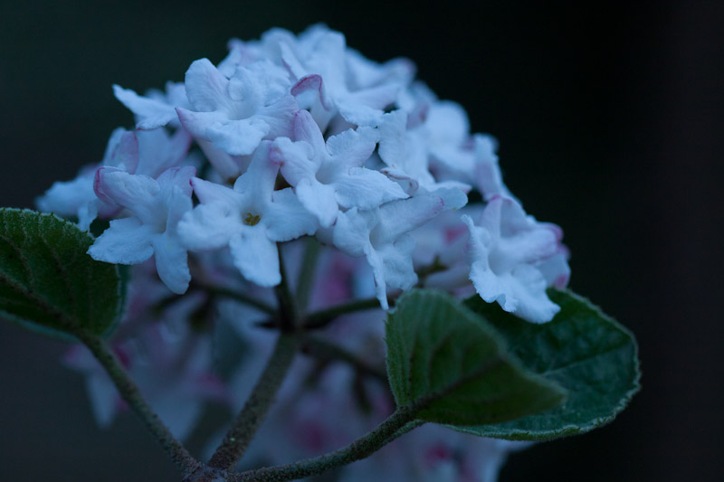 viburnum at dusk-8637
