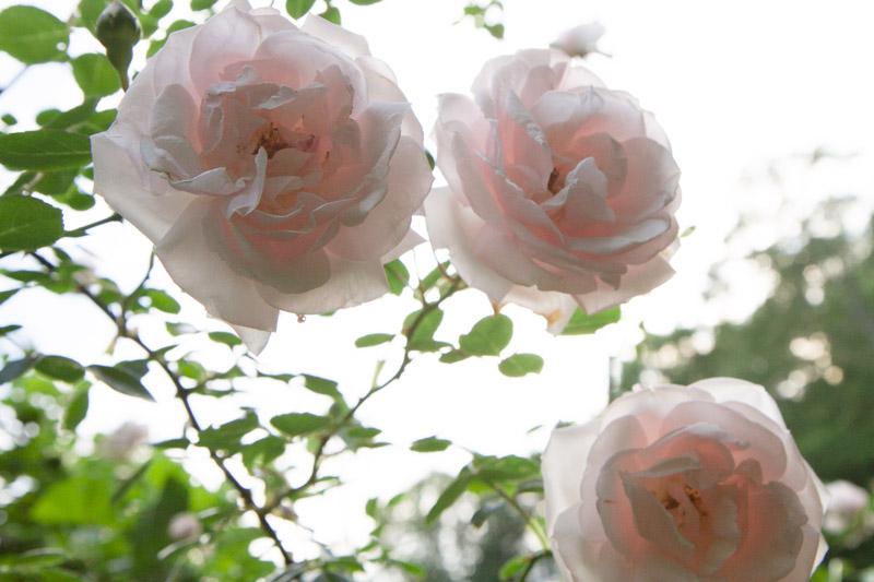 new dawn roses-5224