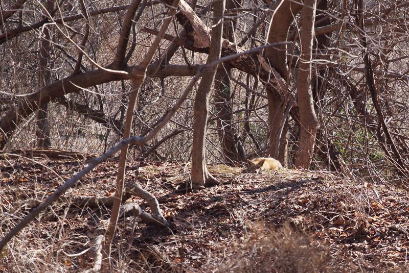 red fox-5662