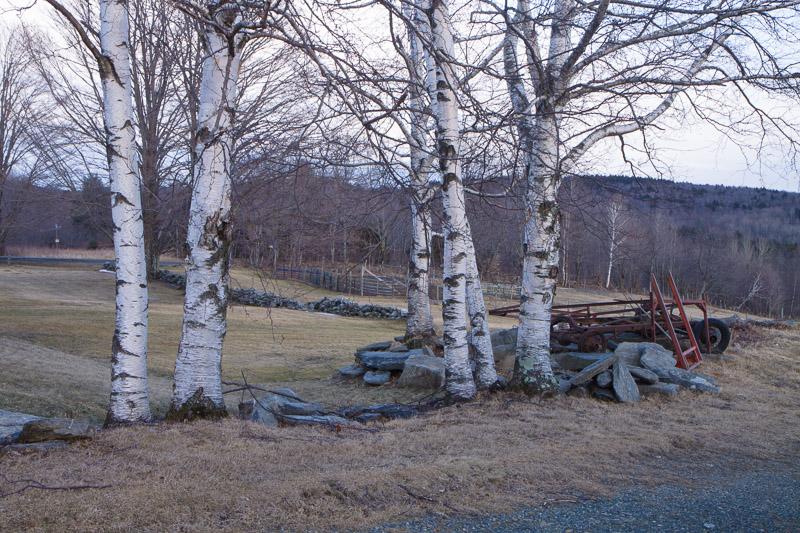 twilight birches-6059
