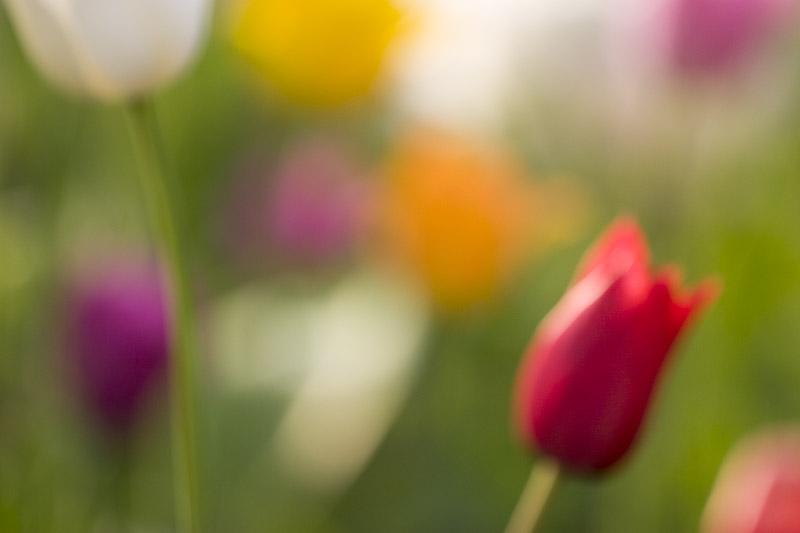 tulips-7563