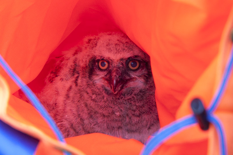 baby-great-horned-owl-3372