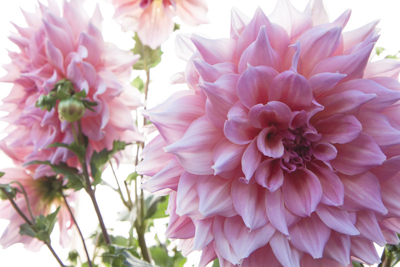 giant-dahlias-7873